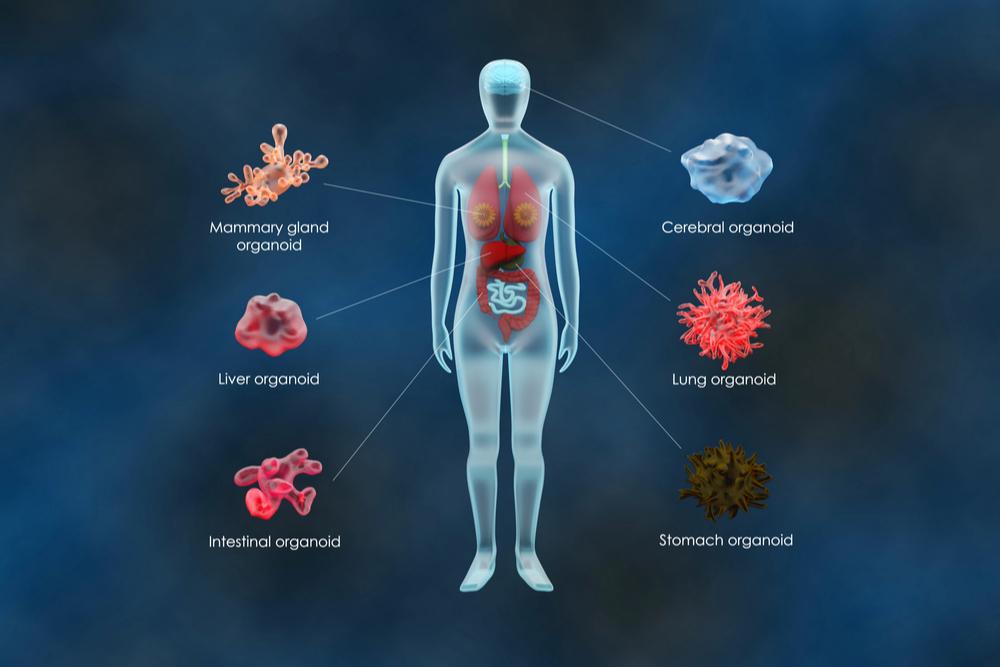 Considerações éticas sobre pesquisas com células-tronco para gerar organoides