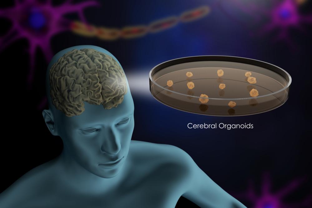 Minicérebros criados a partir de células-tronco têm nível de sofisticação sem precedentes