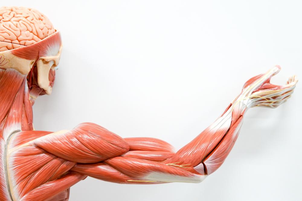 Células-tronco do músculo podem ser estimuladas para reparar o tecido